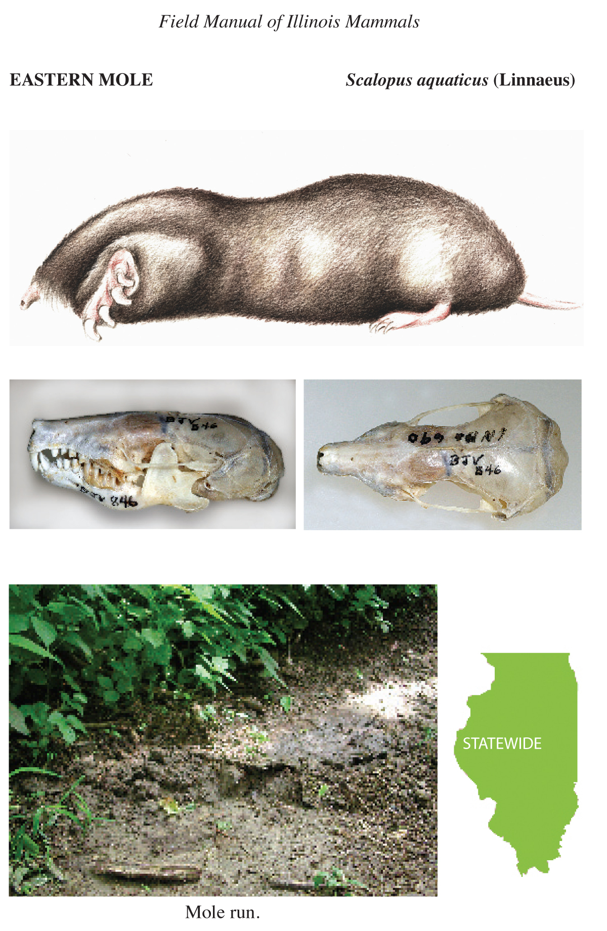 eastern mole illustration, skull images, mole run photo, and illinois distribution map
