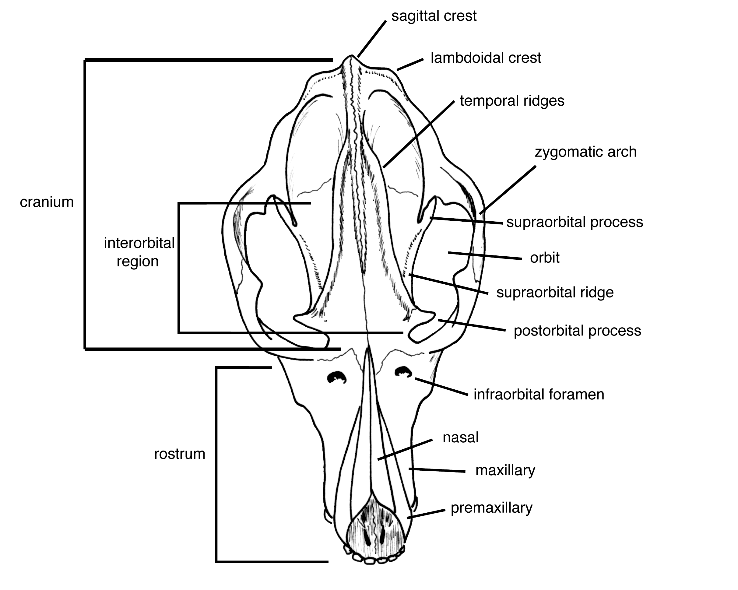 rodent skull, front view