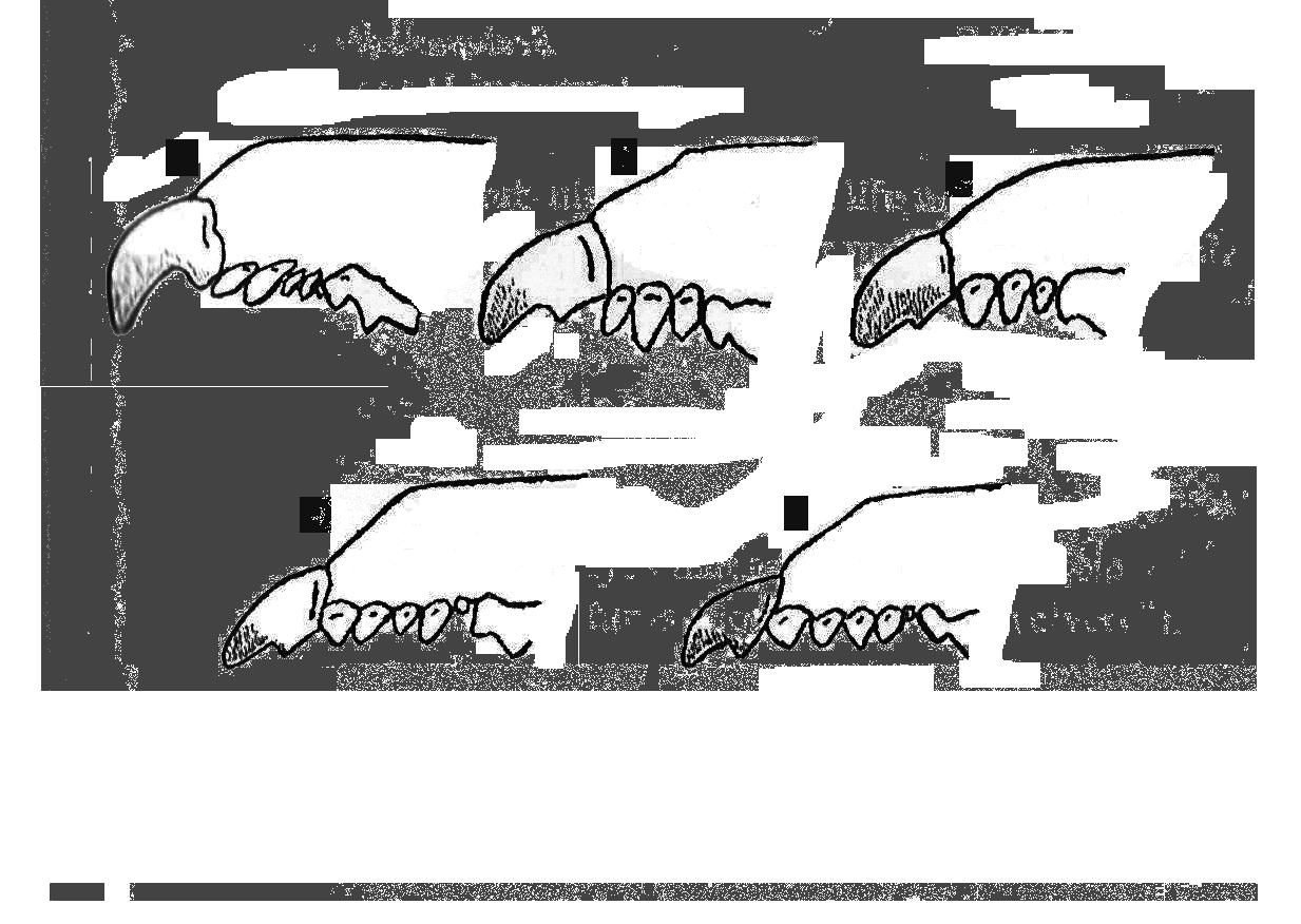 Diagram of shrew teeth. A: Short-tailed Shrew; B: Least Shrew; C: Pygmy Shrew; D: Southeastern Shrew; E: Masked Shrew
