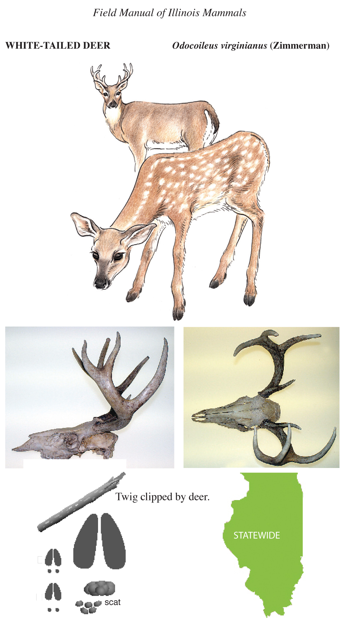 illustration of white-tailed deer, skull images, hoofprints, and distribution map